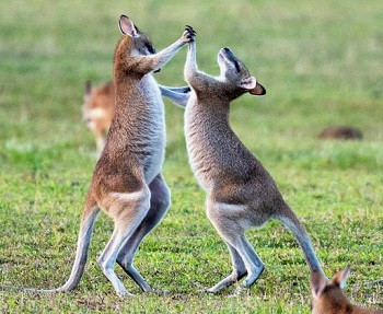 Kangaroos fighting on grass @davidclode