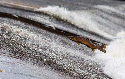 _zfldxjumping_fish