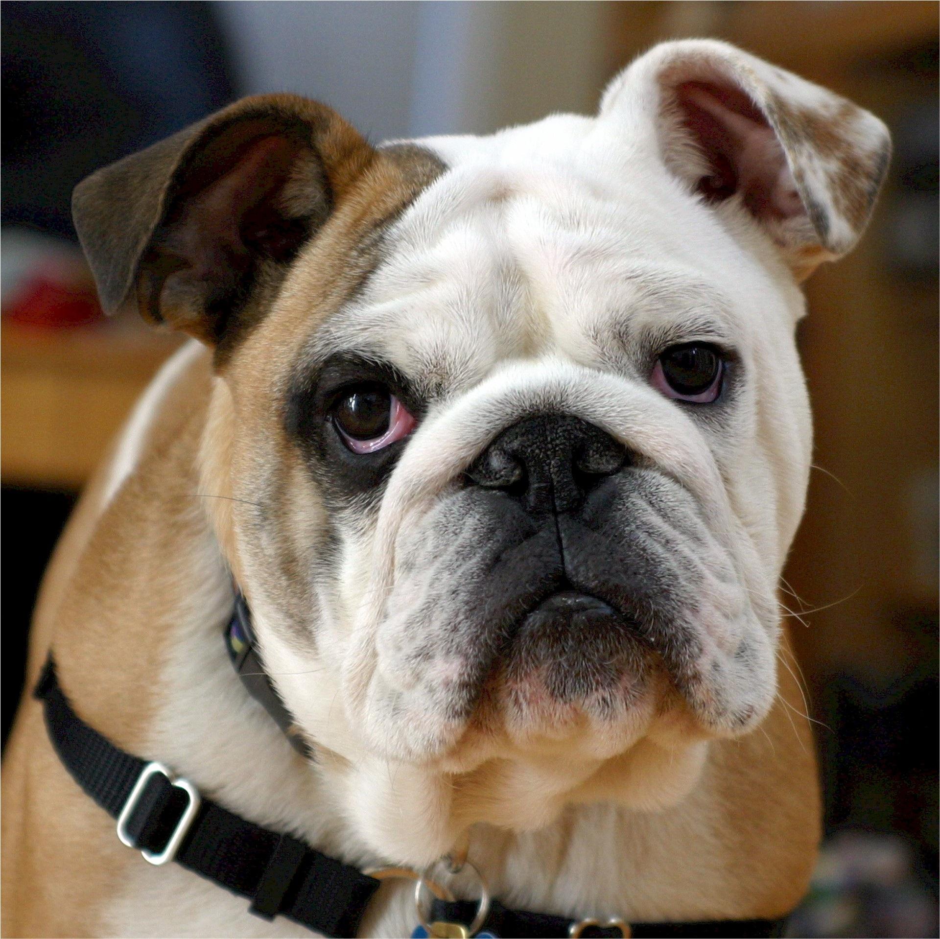 The Process Bulldog